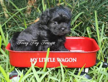 Previous Teacup Shih-Poo & Teacup Poodle Puppies